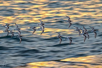 להקת ציפורים נלכדה בעדשת המצלמה במעופה המהיר מעל פני המים. הכנפיים המחודדות ודוגמת הנוצות הגיאומטרית בולטות על רקע אדוות המים המטושטשות ויוצרות תמונה שחור-לבן עשירה בפרטים ובמרקמים שתשתלב באופן הרמוני עם צבעוניות חדר השינה או הסלון בביתכם