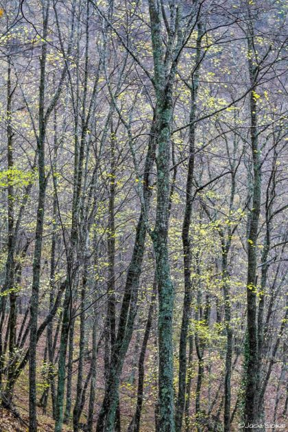יער מלא קסם בצבעים סגול-כחול אינדיגו וירוק לימוני, גזעי העצים מצופים בגוון ג'ייד נדיר. מרקם התמונה יוצר אשלייה של בד מסוגנן. תמונה נהדרת עבור סלון מעוצב בסגנון קלאסי בצבעים חמים