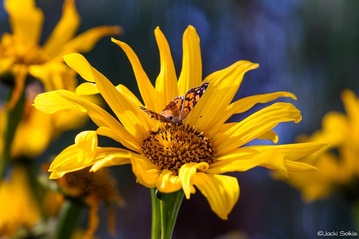 שדה חמניות צהובות לרקע שמיים כחולים עמוקים, פרפר בעל כנפיים כתומות משחק עם האור והצל בתוך הפרח. תמונה ברורה חדה ומלאת צבע תתאים באופן מושלם לסלון מודרני עם צבעים שקטים הרמוניים.