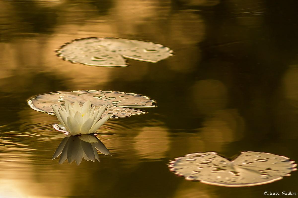 נופר באגם מוזהב - תמונה ממבחר תמונות של פרחים