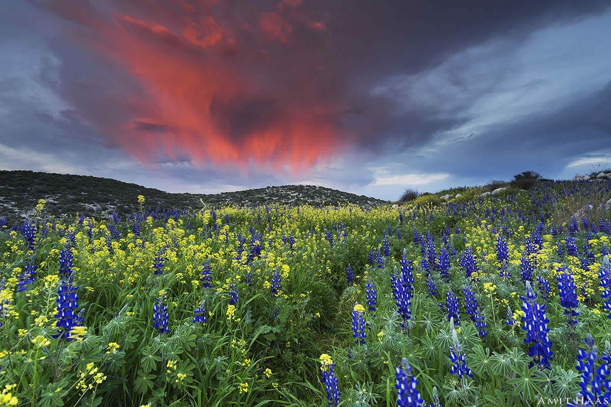 מחזה עוצר נשימה התגלה בעמק האלה השכם בבוקר כאשר התגלו עננים באדום של זריחה מעל מרבדי הפרחים בצבעים של אביב. צילום באווירה אביבית וצבעונית לסלון ביתכם