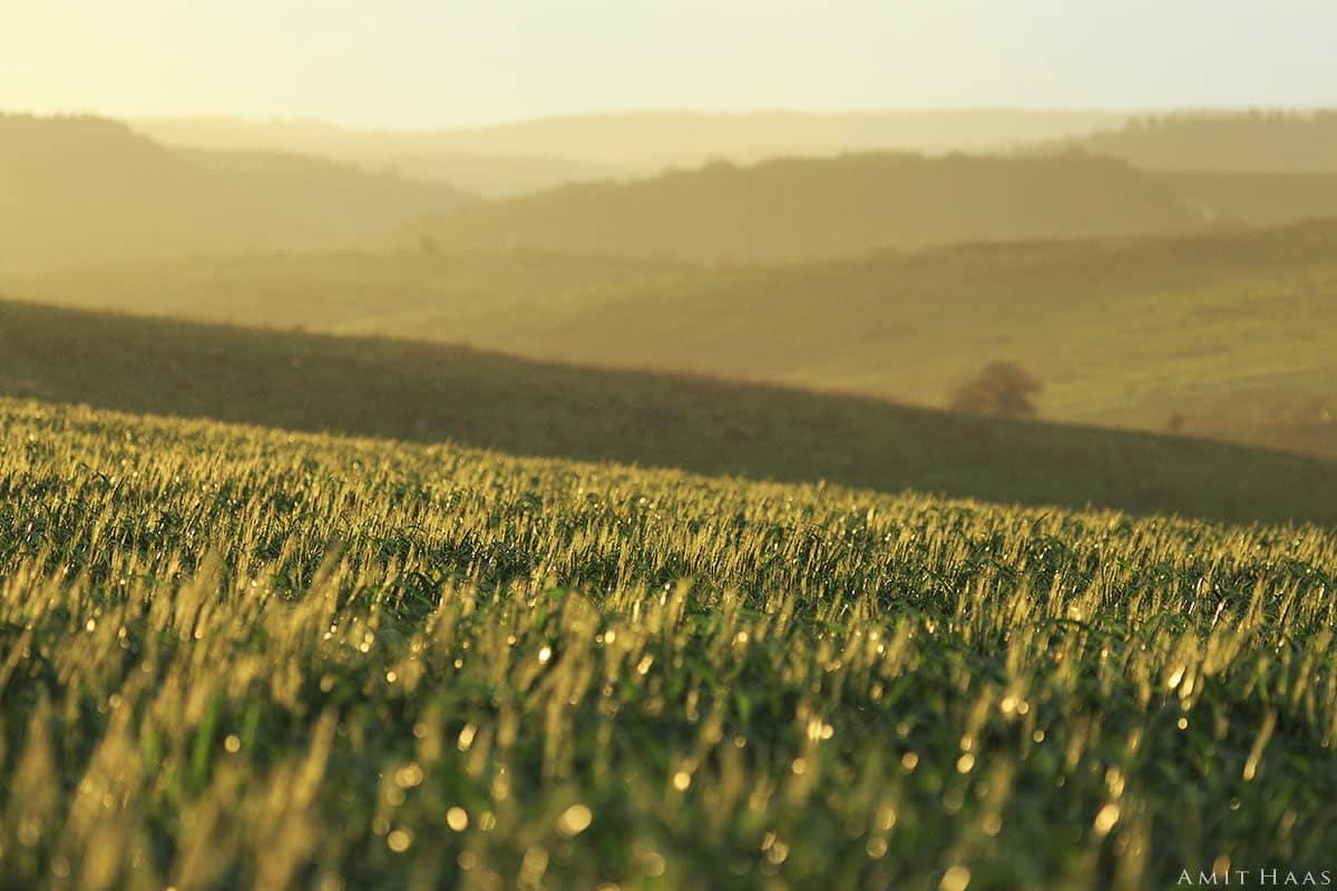 שיבולים ירוקות שטופות שמש ומאחוריהן גבעות משתפלות, נוגעות ונפרדות, יוצרות תמונה בעלת עומק ורבדים רבים שתכניס את הטבע אל סלון ביתכם
