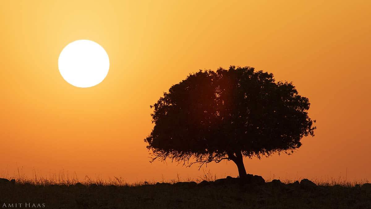 עץ בודד ניצב על קו רקיע ומאחוריו שמי בין ערביים כתומים ושמש לבנה. תמונה בצבעים עמוקים שתעניק מגע של חמימות ויופי לסלון הבית או לחדר השינה