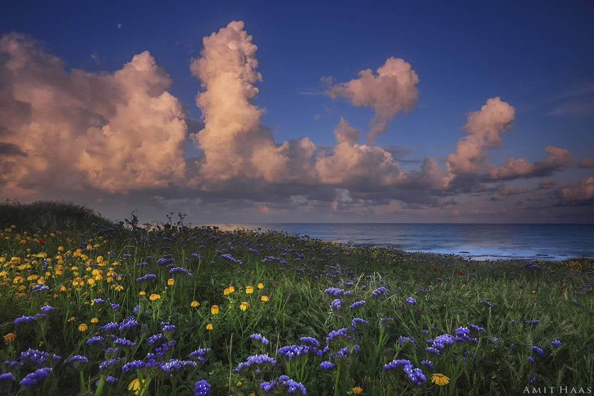 לחוף הים הכהה פרוש מרבד פרחים צהובים וסגולים הטובלים בירק, על בוא השמש מרמז גונם הוורדרד של העננים העולים מתוך האופק. תמונה באווירה קסומה ובססגוניות מרהיבה המזכירה כי זריחות ושקיעות פנים רבות להן. מתאימה לסלון מודרני המרוהט בגוונים לבנים
