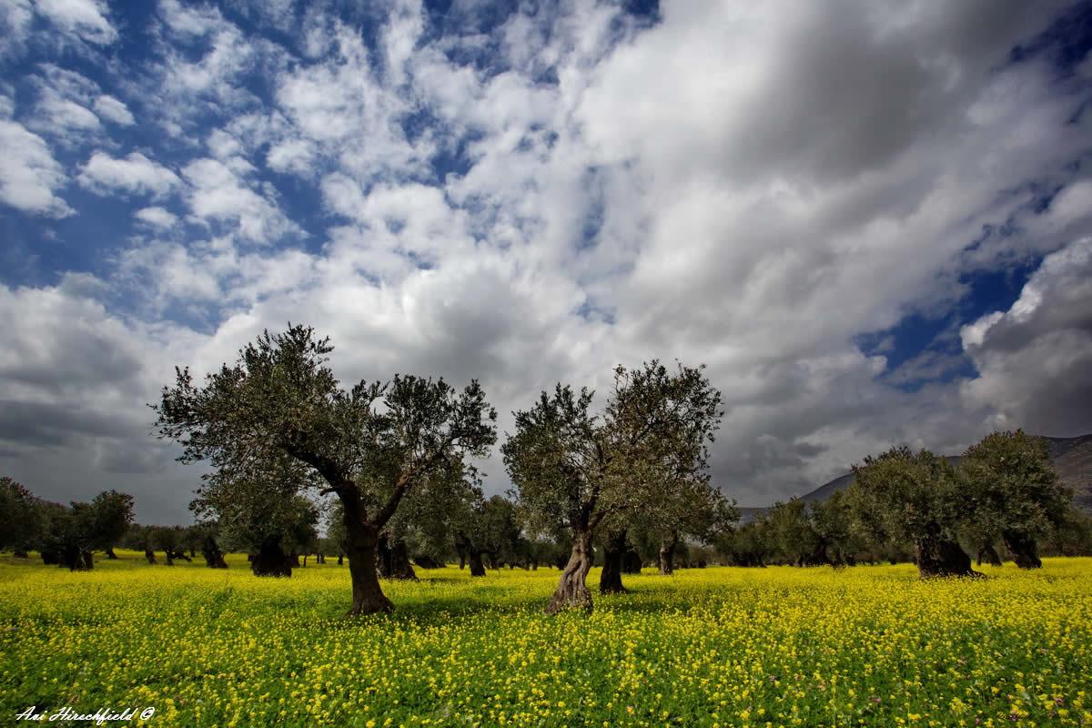 ננים לבנים מכסים את שמי התכלת הפרושים מעל שדה פורח בירוק ובצהוב המנוקד עצי זית כהים ונמוכי צמרת. תמונה מלאת עומק של נופי ארצנו המתאימה למשרד או לבית