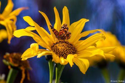 פרפר כתום מנוקד לבן על חמניה צהובה ברקע של שמיים כחולים, שילוב של חדות ויופי צבעוני תמונה על קנבס אמנים לסלון עם עיצוב עתיק מאסיבי ומעוטר