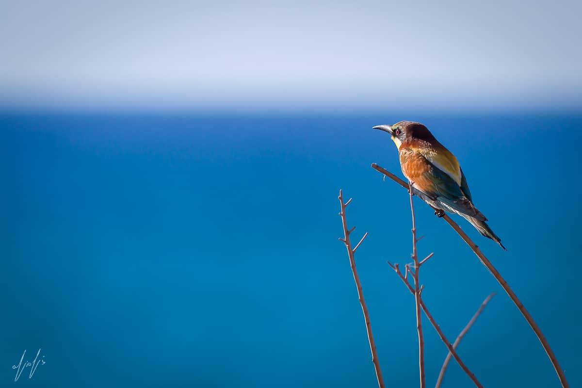מול הים הכחול הגדול עומד על ענף דקיק שרקרק בודד. תמונה שלוכדת רגע בזמן, לפני שהרוח הנושבת תנענע את מקום מושבו ותשלח אותו למעוף מרהיב. תמונה מלאה בשלווה ובאווירת חופש המתאימה לסלון או למשרד