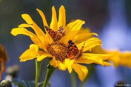 צמד פרפרים כתומי כנפיים משתובבים זה עם זה ורוקדים בתנועות עדינות על גבי חמנייה צהובה. תמונה לסלון או לחדר ילדים להדפסה על קנבס או על מגוון חומרים נוספים