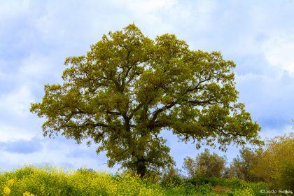 סימטריה בטבע, עץ בעל מבנה ענפים רב מימדי גיאומטרי ויפה, על רקע שמיים צבועים בתכלת עדין, בשדה חרציות צהובות. תמונה שנותנת אפקט של יציבות הרמונית לסלון בסגנון מודרני קלאסי עם צבעוניות נעימה לעין