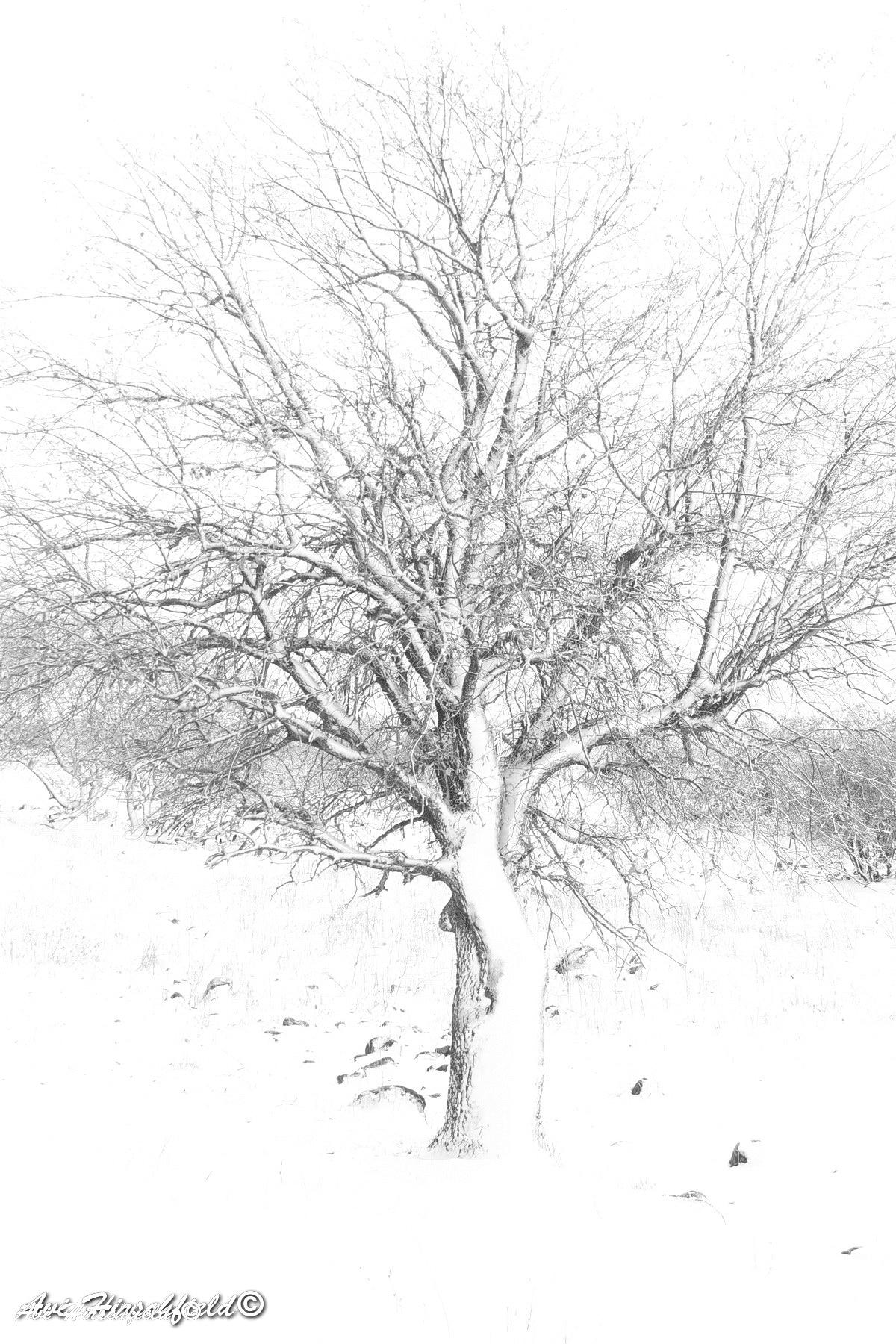 העץ העירום מעליו מתגלה בתמונה זו במלוא הדרו: ענפיו הדקים המשתרגים ומתפתלים, גזעו המוצק המתפצל וכל זאת על רקעו המרהיב והבוהק של השלג. תמונה בשחור לבן המזכירה רישום פחם שתהלום סלון או משרד המעוצבים בקווים נקיים
