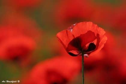 תמונת מקרו מקסימה המתמקדת בפרח פרג בודד, כשברקע כתמים אדומים הרומזים על שפעת הפרגים המקיפה אותו. תמונה באדום לוהט שתיצור אווירה חמה ומלאת תשוקה בחדר השינה או בסלון