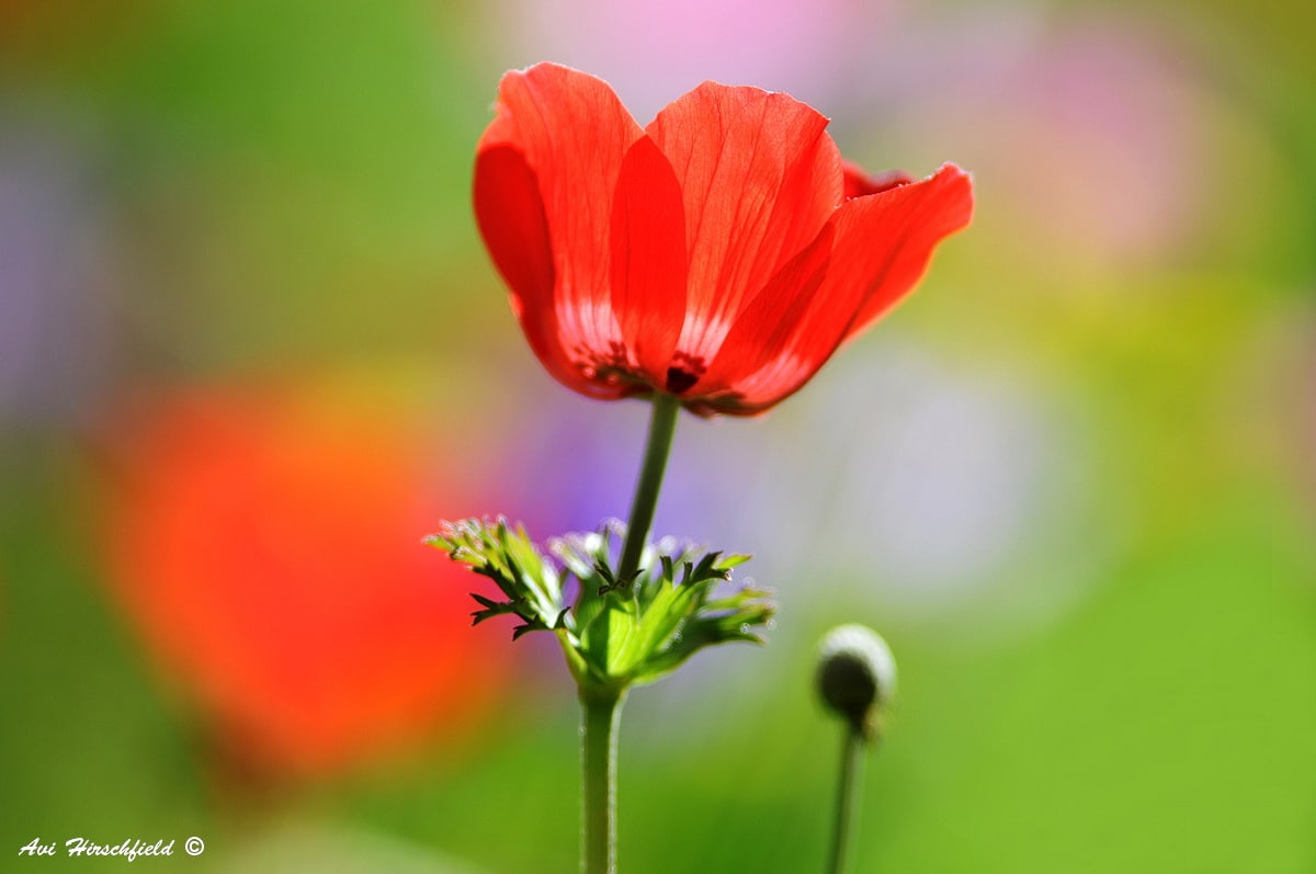 ערבוביית הצבעים הירוקים והאדומים משמשים רקע מעורפל לפרח הפרג הבודד שבמוקד הצילום. תמונה שתכניס שמחה ורעננות לכל סלון או משרד