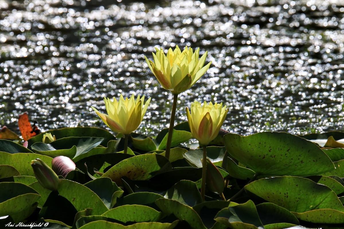 תמונה לסלון של חבצלות בשמש