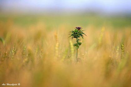 בלב שדה חיטה חום זהוב ניצב כנטע זר דרדר בודד בעל פרח סגול. תמונה זו, המציגה משחק מעניין בין מיקוד לטשטוש, תיראה נפלא בסלון המעוצב בסגנון כפרי ובמשרד המעוצב בצבעים חמים