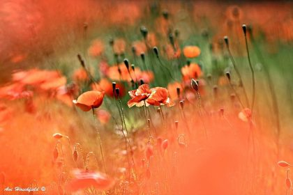 מתוך מערבולת אביבית ורעננה של גוני כתום וירוק מתגלים עלי הכותרת של פרחי הפרג היפים וגבעוליהם הדקים השואפים מעלה. תמונה שתהלום סלון בעיצוב כפרי ורך או חדר שינה אינטימי ובהיר