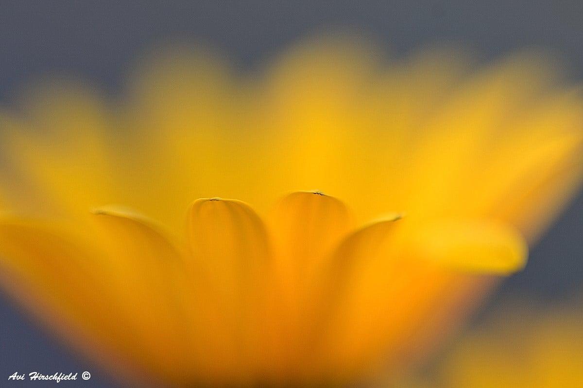 קרבתו של הצלם אל הפרח מושא הצילום יכולה לחשוף את פרטיו הנחבאים אך גם לטשטש את דמותו. בתמונת אבסטרקט זו עלי הכותרת הצהובים מתמזגים לכתם צהוב ערפילי המוקף ברקע כחול עמוק. תמונה שתעניק אווירה חלומית ואור רך לחדר שינה או לסלון
