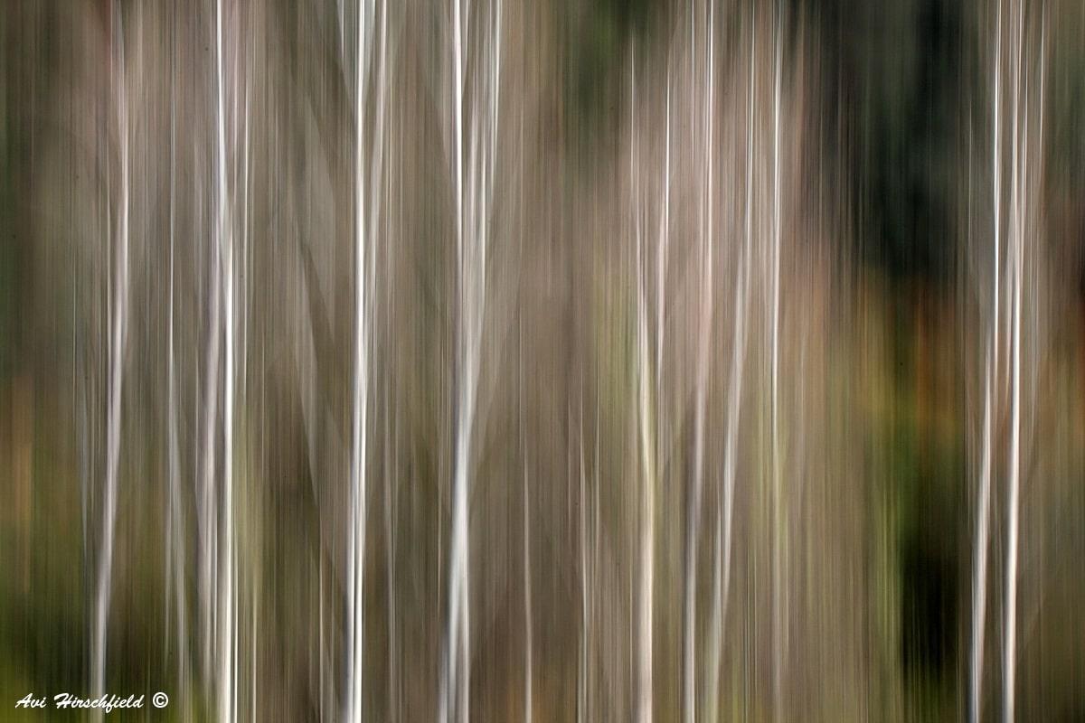 גזעיהם של עצי הצפצפה נמתחים לאורכה של התמונה כפסים לבנים דקים על רקע עלווה ירוקה וחומה. האפקט המעורפל יוצר אווירה מופשטת וחלומית בתמונה רכה זו, שתהלום חדר שינה אינטימי או סלון בגוונים טבעיים