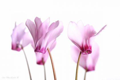 רקפות על רקע לבן ממגוון תמונות פרחים מיוחדות
