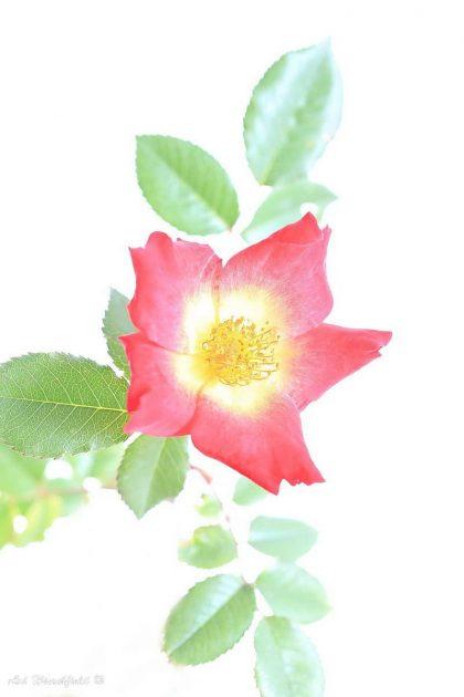 אבקנים צהובים פורצים ברכות מתוך הפרח שצבעי עליו מתחלפים לאדום לוהט. שפע העלים הירוקים המקיף את הפרח מדגיש את גווניו החמים ויחד הם משתלבים לתמונת מקרו עוצרת נשימה שתכניס חיים וצבע לסלון או למשרד