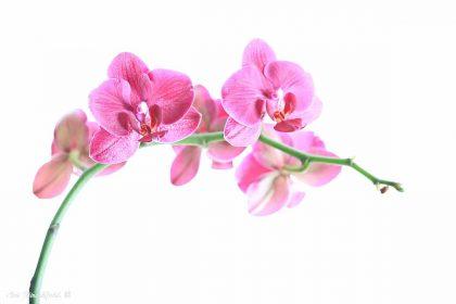 עדינות הפרחים ומורכבותם זוכים בתמונה זו לטיפול מלכותי. הקומפוזיציה המיוחדת והרקע הלבן מדגישים את הגבעול הירקרק ואת עלי הכותרת הוורודים המעוטרים בנימים דקים ויוצרים תמונה יפה ואלגנטית למשרד או לסלון הבית