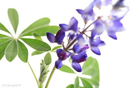 גוני הסגול היפיפיים של מקבץ הפרחים הצפוף פורצים מבין עליהם הירוקים ויוצרים תמונה עשירה בצבעים רעננים ואביביים. בין אם על קנבס ובין אם על זכוכית, תמונה זו תפאר כל חדר שינה או סלון