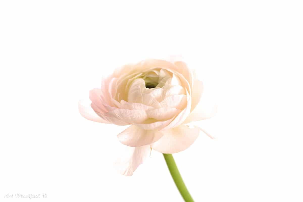 תמונה עדינה ואלגנטית של פרח בודד בעל גבעול ירקרק ושפע עלי כותרת בגוונים רבים של לבן. מורכבות הפרח וגווניו העדינים הם שהופכים תמונה זו למיוחדת כל כך ולפריט עיצובי מרשים המתאים לסלון או לחדר שינה