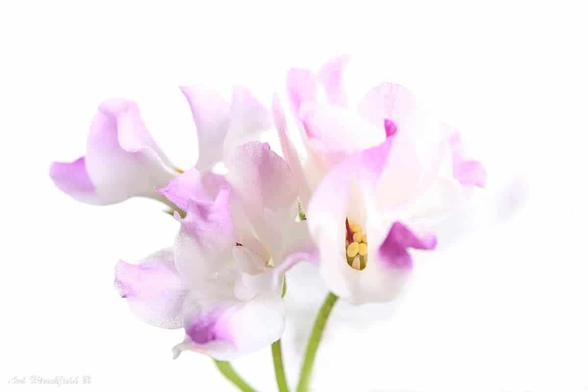 גבעולים ירקרקים נושאים מקבץ פרחים המעוטרים בעלי כותרת ורודים-לבנים. מבט קרוב אל הפריחה העדינה חושף את הפרטים העדינים אך גם מטשטש את המפריד בין פרח לפרח ויוצר תמונה מלאת קסם ורגש המתאימה לחדר שינה או לסלון