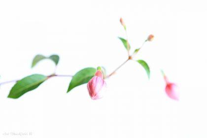 ניצנים הם לא רק הבטחה לפרח, יופיים עומד בפני עצמו ומעורר רגש עמוק. תמונת מקרו יפיפיה ועדינה של ענף ירוק ועליו ניצני פרחים ורודים, שהרקע הלבן מדגיש את גוניהם הרעננים. תמונה אלגנטית להשלמת עיצוב הסלון או חדר השינה