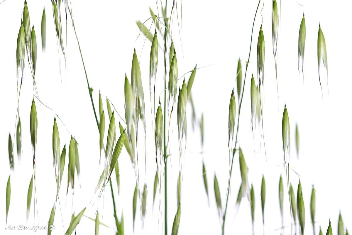 ענפי שיבולת שועל ירוקה עמוסים בתרמילים מחודדים ומתכופפים מטה מכובד משקלם. הרקע הלבן מדגיש כל פרט בצמח בר עדין זה, המוכר היטב לכל מי שמטייל בשדות ארצנו. תמונה המתאימה לסלון בסגנון כפרי או לפינת האוכל