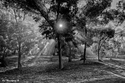 קרני השמש הראשונות של הבוקר חודרות מבעד לעלוות העצים ומאירות באור קסום את החורשה המתעוררת לחיים. תמונת שחור-לבן מיוחדת ומקסימה המתאימה לקיר חדר השינה או הסלון