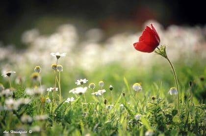 פרג אדום בודד בתמונת פרחים מלאת רעננות