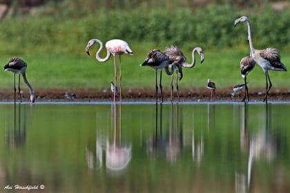 עופות פלמינגו ארוכי רגליים משכשכים באגם המוקף צמחייה ירוקה רעננה, ובבואותיהם העמומות יוצרות מצג של הכפלה. תמונת טבע מלאה חיים המתאימה לסלון או למשרד