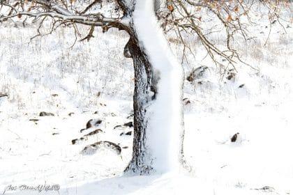 מתוך מרבד השלג הלבן מתרומם בגאון עץ בודד שנעטף ברכות בלבוש חג מושלג וצחור. תמונה חורפית שתשרה אווירה רגועה במשרד או בסלון
