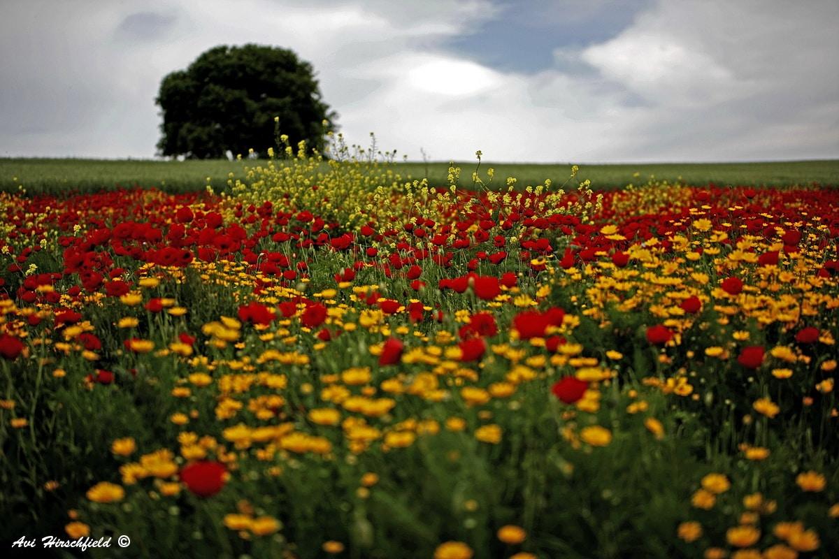 פריחה משגעת של פרחי ארצנו באדום ובצהוב וברקע שדה ירוק מעובד ועץ בודד. חגיגה אביבית של צבע ועליזות המתאימה לסלון הבית ולחדר ילדים