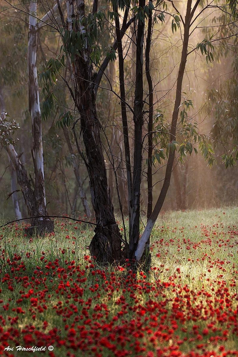 עצי האקליפטוס החומים שגזעיהם מחורצים ומבוקעים נחים להם בנחת בשדה פרגים מלבלב באדום. תמונה הלוקחת את הצופה לטיול מרגיע בחיק הטבע, מתאימה לסלון או למשרד שטופי אור