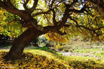 עץ צהוב רחב צמרת ממגוון תמונות קיר לסלון בעיטוף גלריה