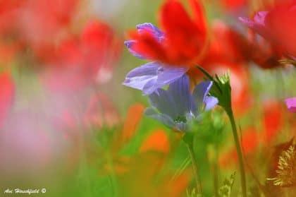 זווית הצילום המיוחדת בתמונה זו מעניקה לנו מבט שונה ואינטימי על השדה הפורח - שפעת צבעי סגול, אדום וירוק מתערבלים יחד להרמוניה פרחונית ומלבבת. תמונה שתכניס אווירה אביבית ושמחה לכל סלון או משרד