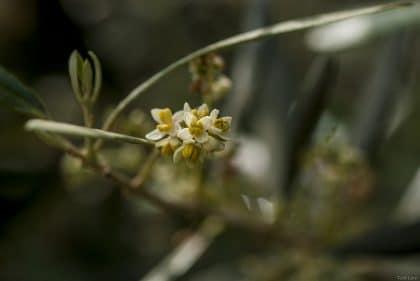 תמונת ככתר פריחת הזית מתוך גלריה של תמונות פרחים