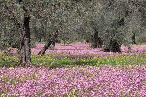 שדה פרחים בין עצי הזית בתמונה ממבחר תמונות בסלון ובחדר השינה