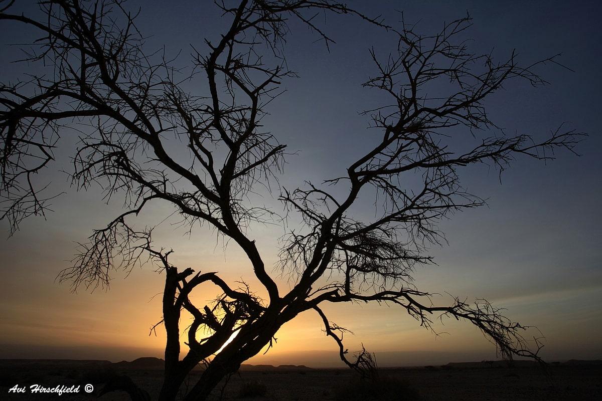 בבוקר מדברי קסום מתחלף לאיטו החושך באור. מבין ענפי העץ השחור הדליל בעלים חודרות קרני השמש הכתומות הראשונות ומחממות את הארץ הקרירה. תמונה מיוחדת ומרשימה המתאימה לעיצוב סולידי של המשרד או הבית
