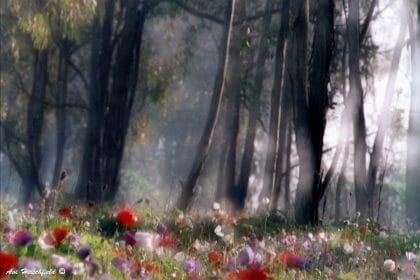 גזעי עצים שחורים צפופי עלווה וביניהם חודרות קרני שמש רכות המאירות שדה ססגוני של פרגים סגולים ואדומים. הניגוד בין כהות העצים לבהירות הקורנת של הפרחים יוצר אווירה מסתורית המזכירה אגדות ילדים. מתאים לסלון או לחדר שינה