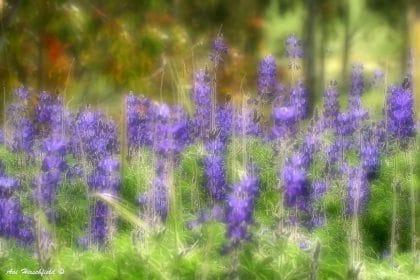 עמודי פרחים סגולים נישאים מעל עליהם הירוקים בתנועתם לעבר קרני השמש החמימות. הטשטוש העדין בתמונה זו צובע אותה בגוון חלומי קסום שיהלום את חדר השינה או את סלון הבית