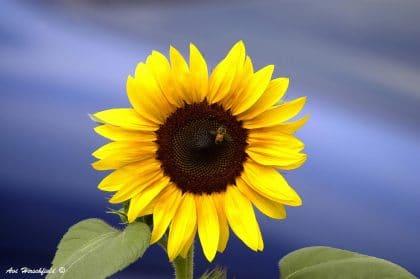 תמונת פרחים אלגנטית של פרח השמש