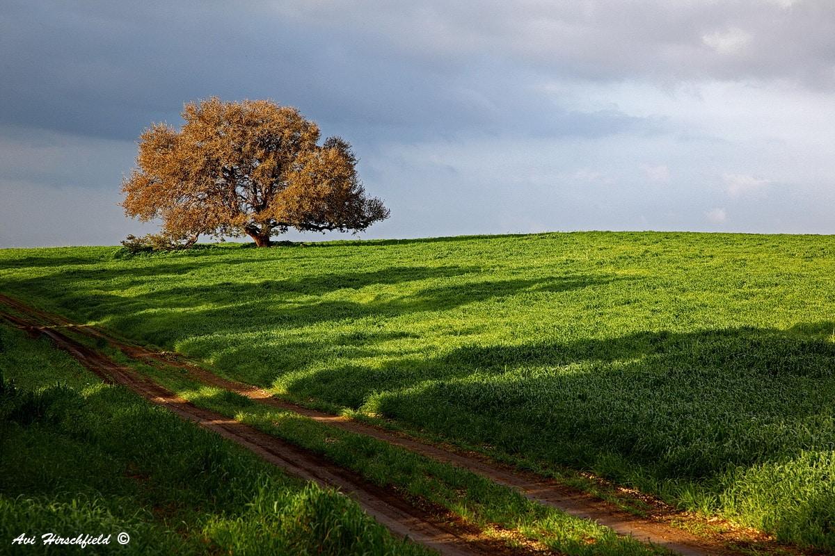 דרך לא סלולה חותכת את השדה הירוק ולצידה עץ רחב צמרת, ממעל שמיים כחולים מעוננים ועל הקרקע שורת צללי עצים. תמונת נוף פסטורלית ורכה המתאימה לסלון או חדר שינה בעיצוב כפרי וחמים