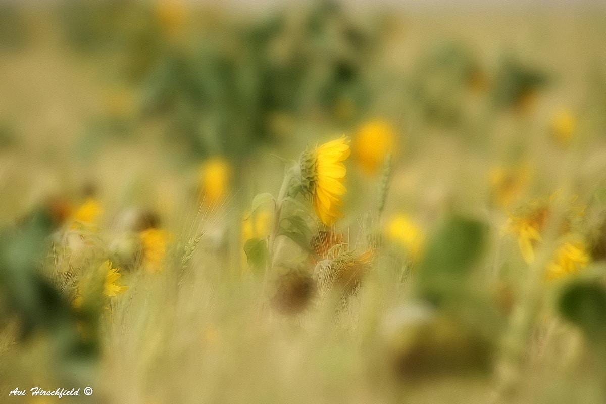 שדה חמניות עמוס לעייפה מקבל בתמונה זו זווית חדשה ומעניינת - הפרחים הצהובים מציצים מבין עליהם הירוקים ויוצרים מרבד של ריצודי צבע רכים ונוגים. תמונה שתשתלב מצוין בעיצוב סלון כפרי בגוונים חמים