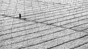 בשדה רחב שסימני חרישה חורצים אותו פוסע אדם בדד. תמונה בסגנון מינימליסטי ממבחר תמונות שחור לבן המתאימה למשרד או לסלון הבית