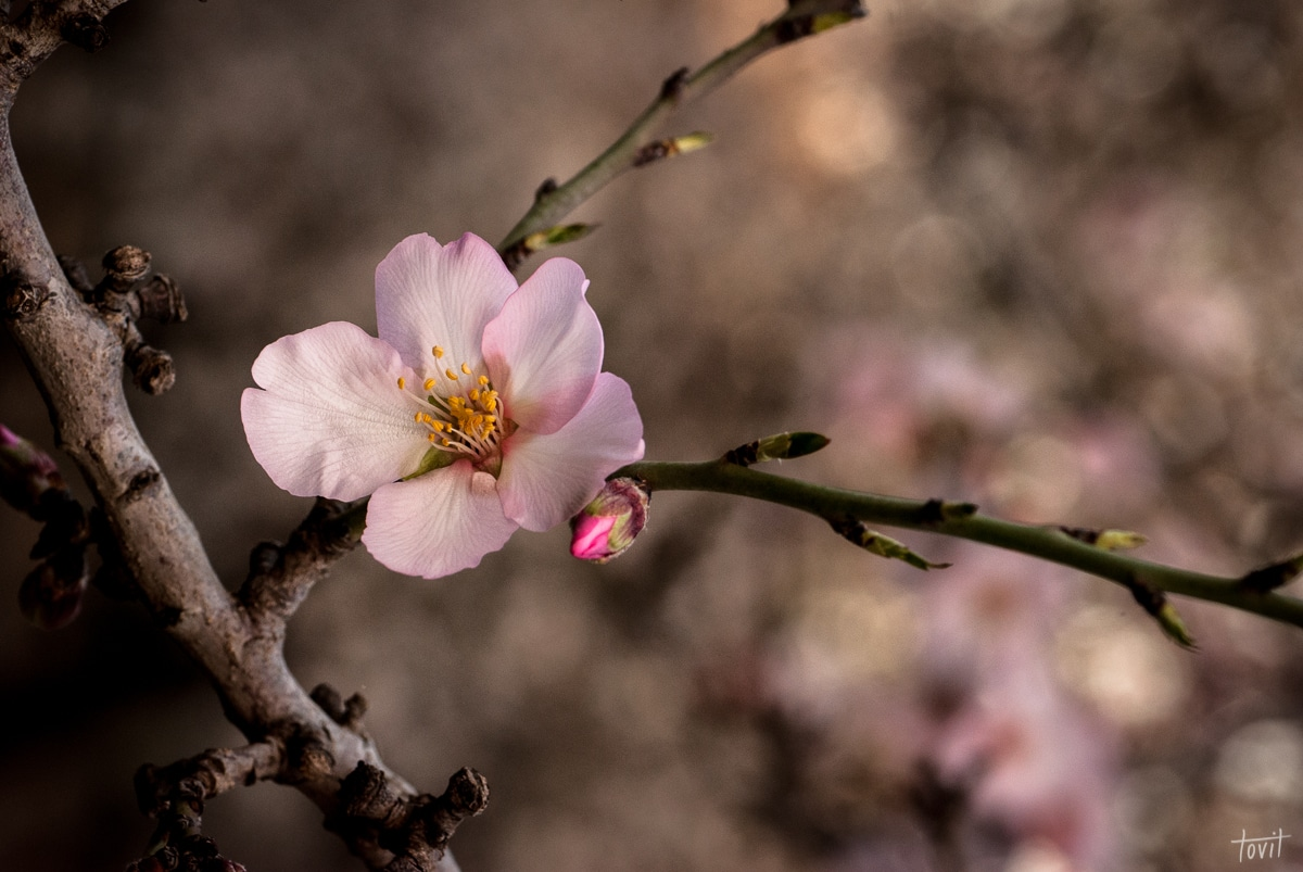 תמונת ניצן ופרח השקד ממגוון תמונות של פרחים לבית ולמשרד