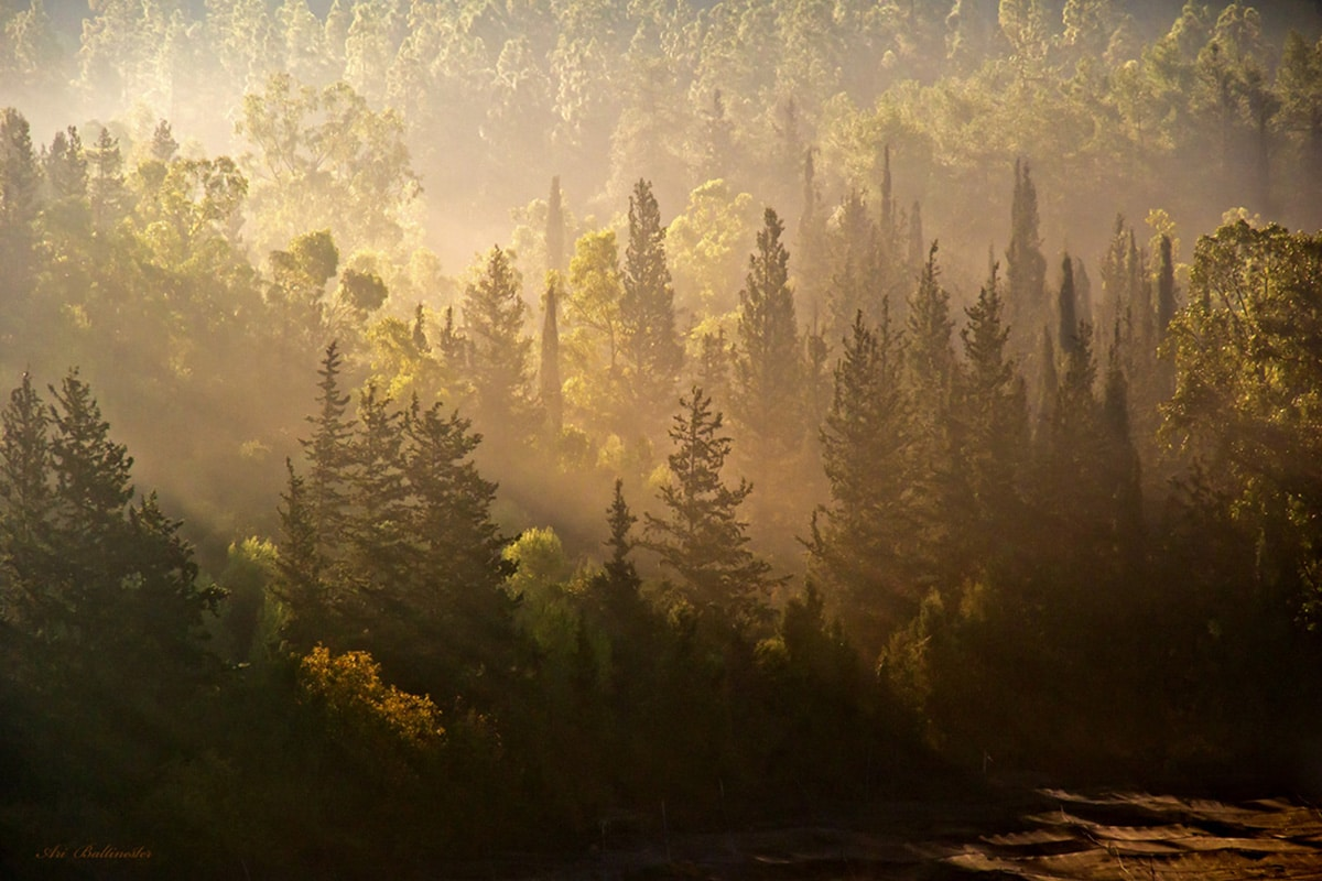 זריחה מוזהבת מעל יערות מנשה. תפיסה של רגע קסום במיוחד. התמונה מתאימה לסלון, חדר שינה ולמשרד.