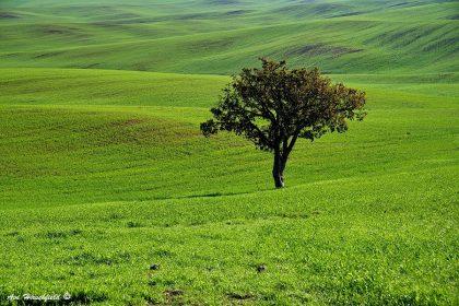 תמונה להדפסה על קנבס של עץ בלב שדות ירוקים