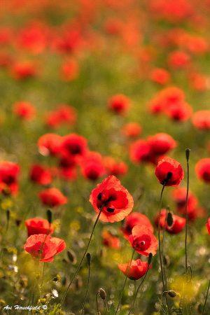 בשעת בוקר מוקדמת נוצצות טיפות הטל הנחות בשלווה על פרחי הפרג האדומים המתעוררים לאיטם בשדה הירוק. תמונה מלאה בחיים המביאה את פלא התחדשות הטבע אל סלון הבית או המשרד